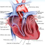 Heart Facts for Kids | Top 15 Amazing Facts about Heart