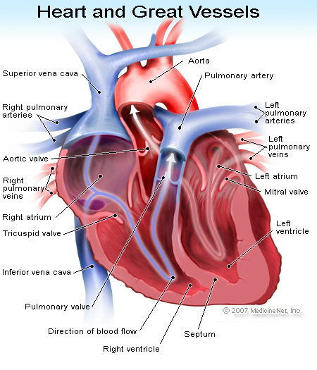 Heart Facts For Kids Top 15 Amazing Facts About Heart Facts For Kids