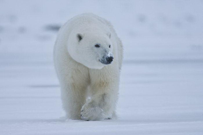 Polar Bear Facts For Kids   Amazing Facts about the World's ...