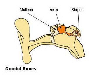 diagram of the ear skeletal system for kids facts for kids. Black Bedroom Furniture Sets. Home Design Ideas