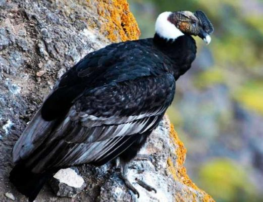 Andean Condor - Colombia facts for kids
