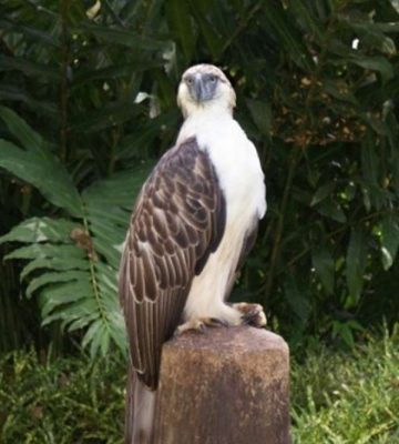 Philippine Eagle - Philippines facts for kids