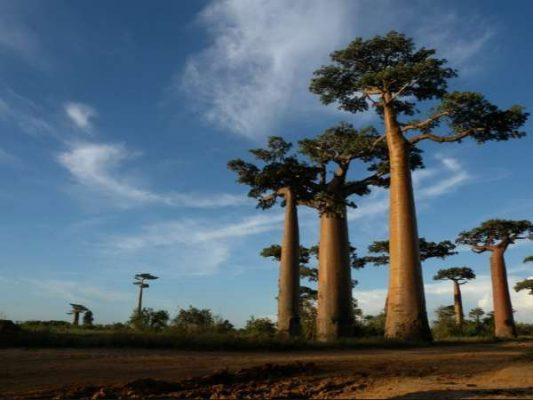 Vassen Allée des Baobabs